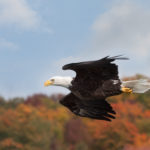 Bald eagle soaring above autumnal trees in a nature preserve