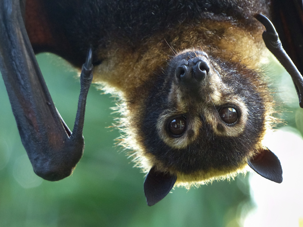Spectacled Flying-fox (Pteropus conspicilatus)