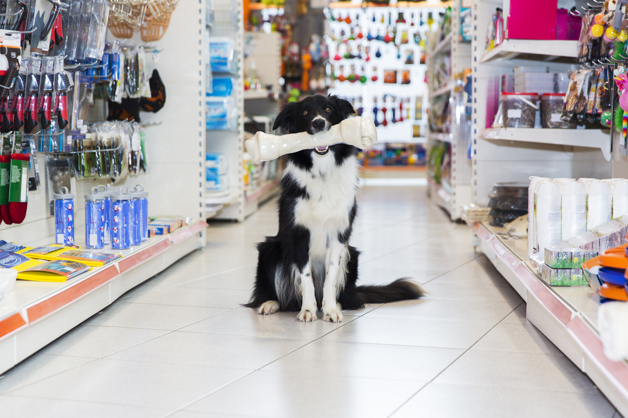 Cute Border Collie with big pet bone sitting in a pet store